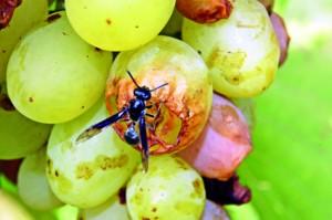 Uva com mosca
