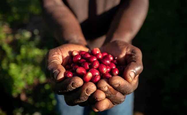 cafeicultura regenerativa