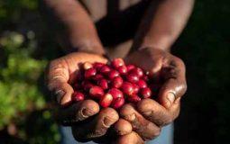 Nespresso avancos cafeicultura regenerativa